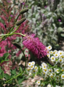 Burnet (Sanguisorba) looks delicate, but it came through 2009 with flying colors.