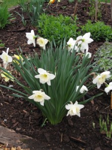 Daffodil (Narcissus) 'Ice Follies'