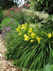 Daylily 'Happy Returns' with bee-balm, betony and catmint for companions