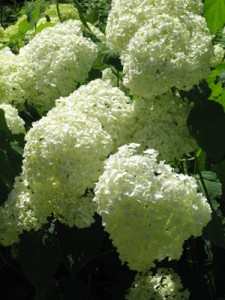 Hydrangea 'Annabelle' is a bit too, well, buxom