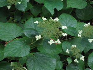 Hydrangea arborescens ssp. radiata holds up its head in all kinds of weather