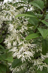 The unusual tassel-like flowers of fringe tree.