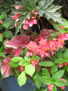 Fancy begonia, caladium and Fusion impatiens make a shade portrait in pink