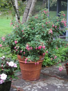 Three Fuchsia 'Mrs. J.D. Fredericks' fill a pot beautifully on their own