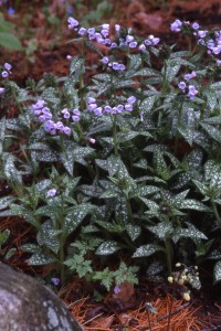 Powdery mildew-resistant Pulmonaria 'Roy Davidson'