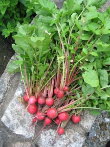 Only humans eat radishes...but unfortunately other animals eat radish greens!