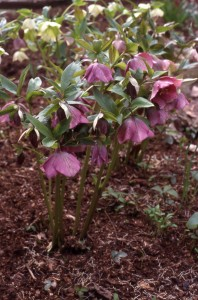 Hellebore flowers emerge before leaves