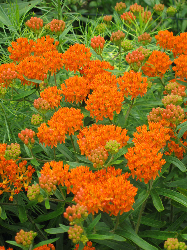 Orange Flowers Perennials