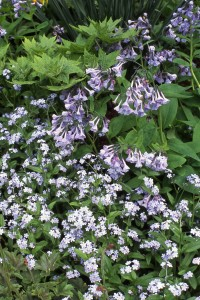 A May melée of Virginia bluebells and forget-me-nots