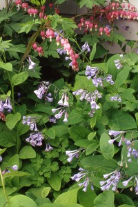 Bluebells and bleeding heart make a natural garden combination