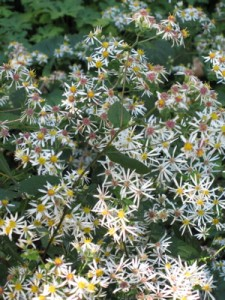 White wood aster is as close to a no-care plant as a plant can get, and native to boot