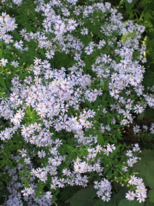 Blue wood aster in all its flowery August glory