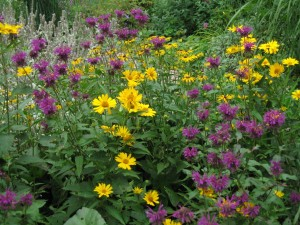 Vivid purple bee balm 'Scorpion' and bright yellow oxeye sunflower make a knockout mid-summer combination