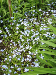 Forget-me-not is a classic cottage garden self-sower.