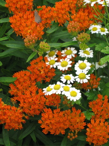 I always put golden feverfew next to butterfly weed if it doesn't seed itself there.